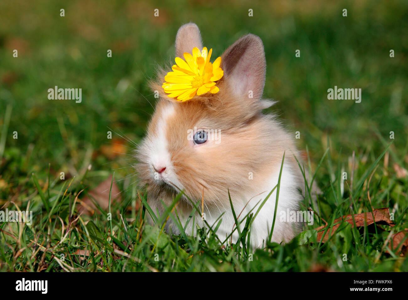 Lapin nain à tête de lion. Les jeunes assis sur un pré, portant une fleur jaune sur sa tête. Allemagne Banque D'Images