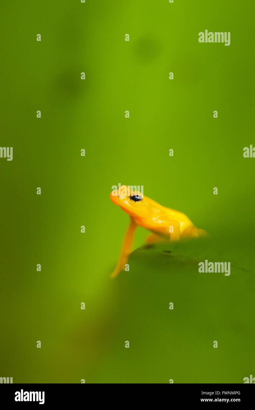 Fusée d'or ( Anomaloglossus beebei Grenouille), endémique à réservoir géant bromelia Photo Stock