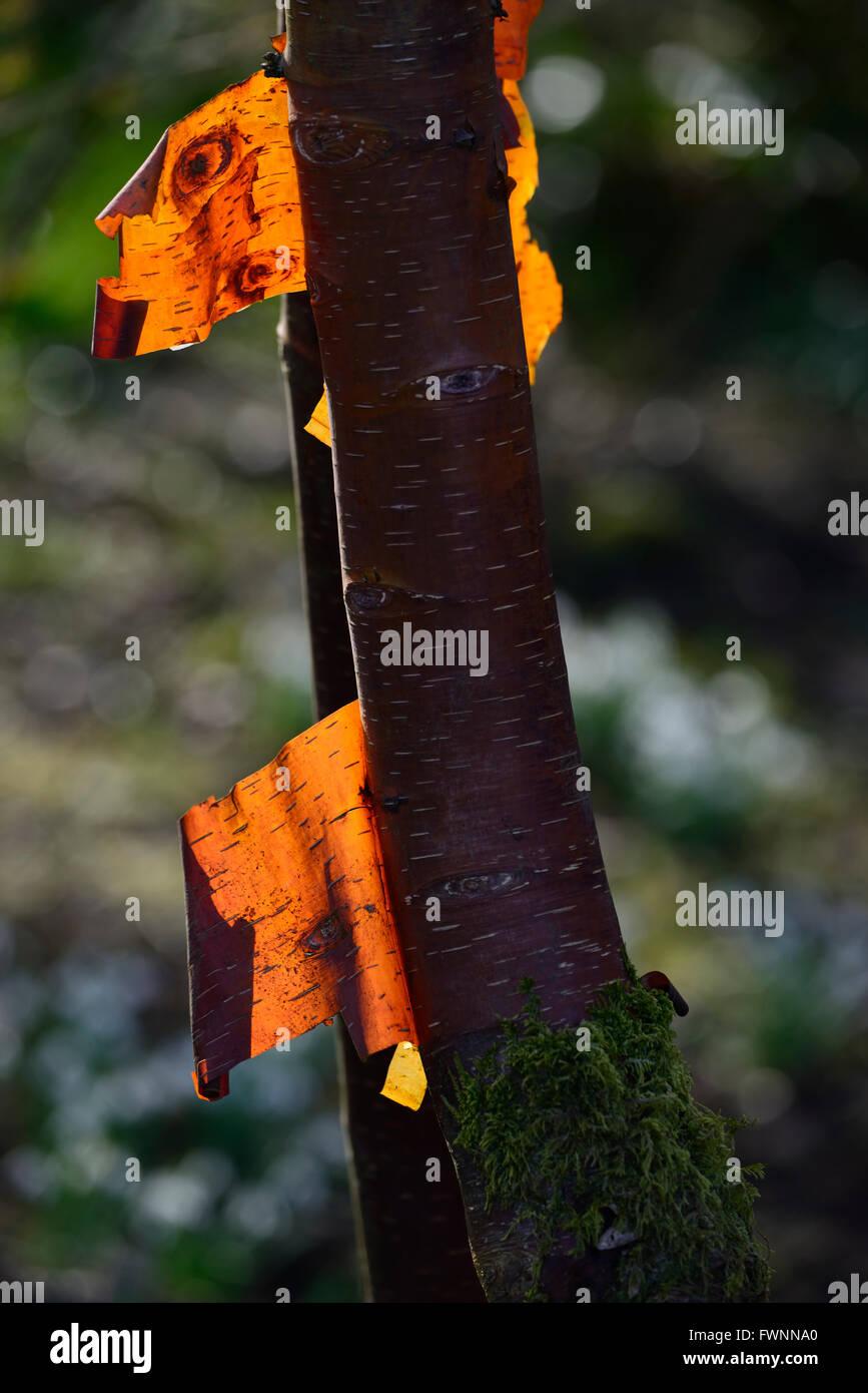 Le Betula albosinensis rouge de Chine peeling éclat brillant rétroéclairé attrayant de l'écorce Photo Stock