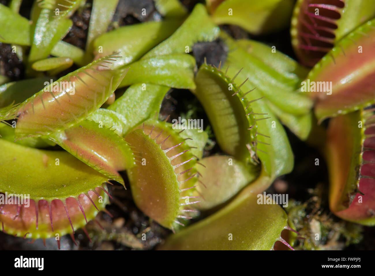 Dionée attrape-mouche ( plante canivore ) Photo Stock