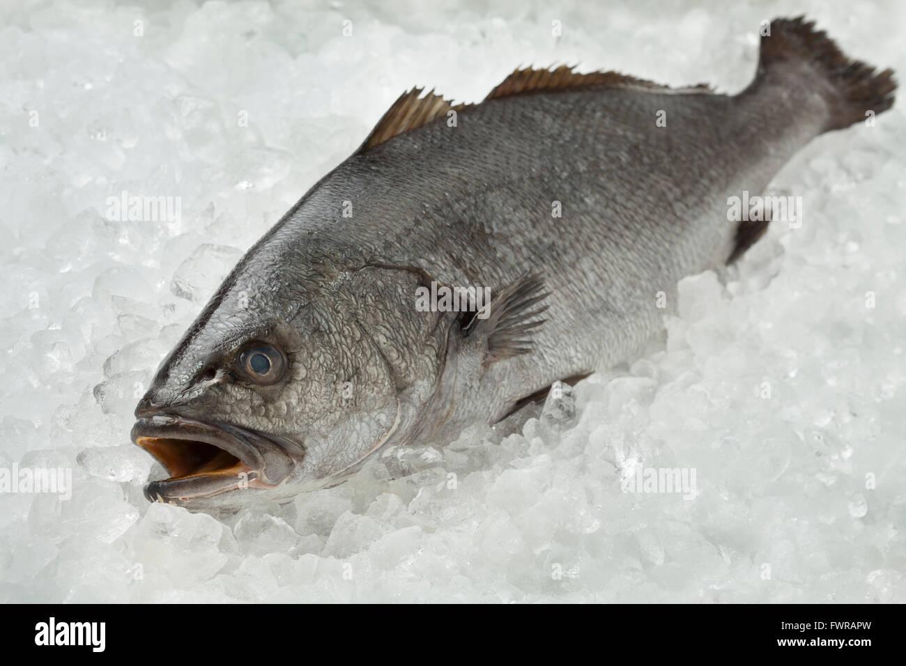 Matières premières fraîches sur la glace de poisson corvina Photo Stock