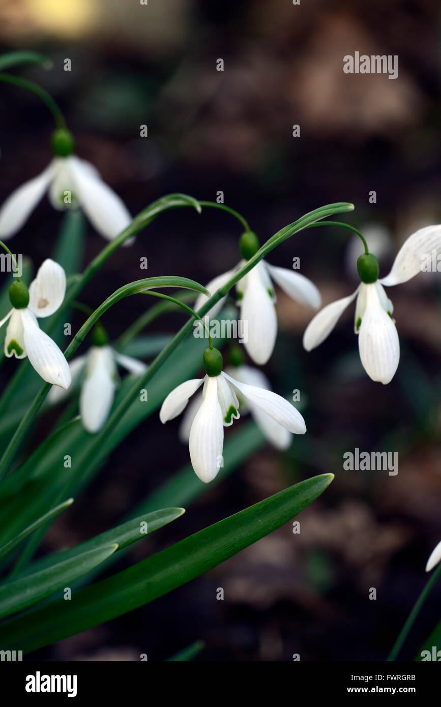 Aimant snowdrop Galanthus nivalis perce-neige printemps fleur fleurs floral RM Photo Stock