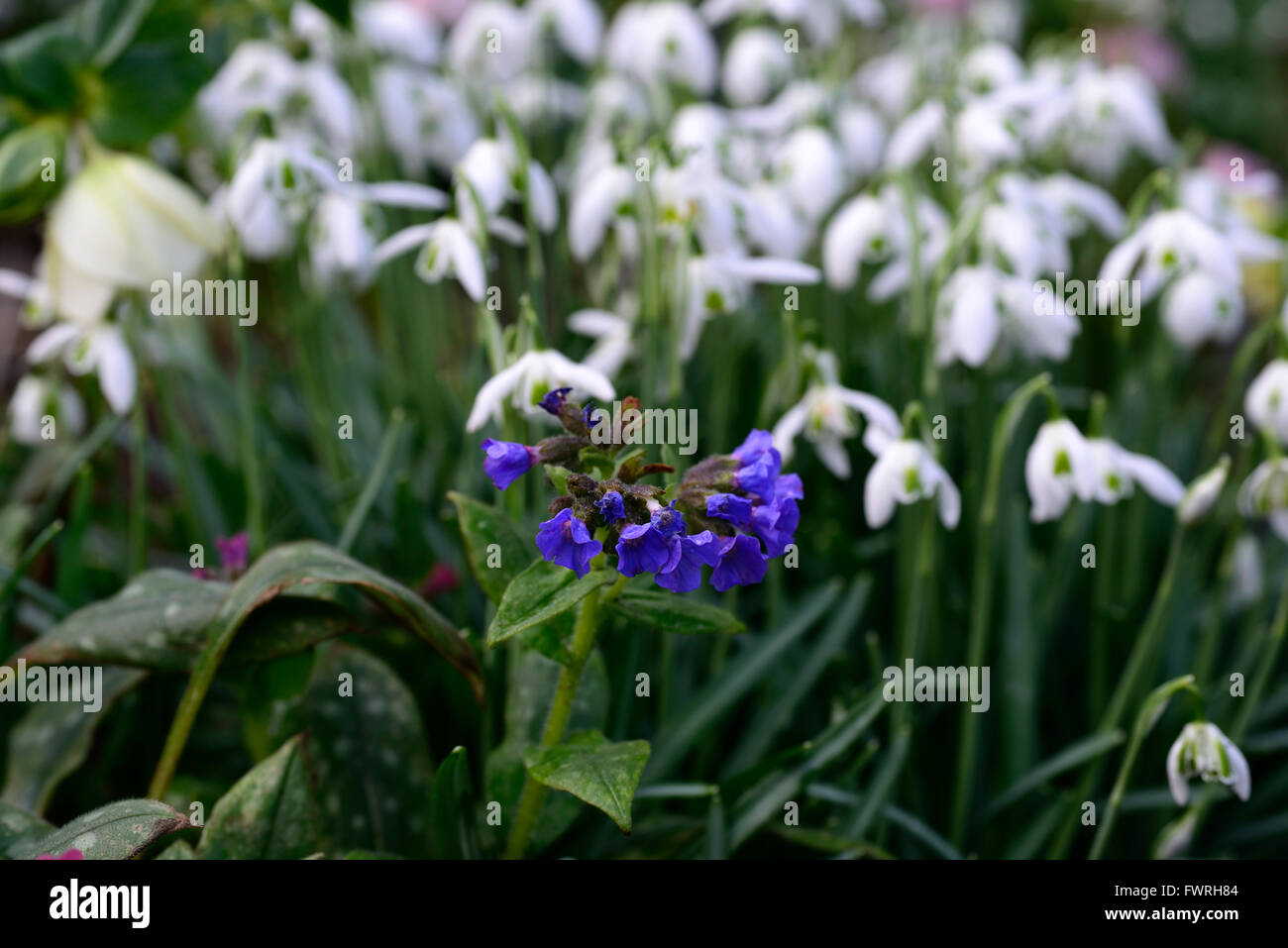 Pulmonaria blur ensign galanthus cordelia fleur fleurs printemps ...