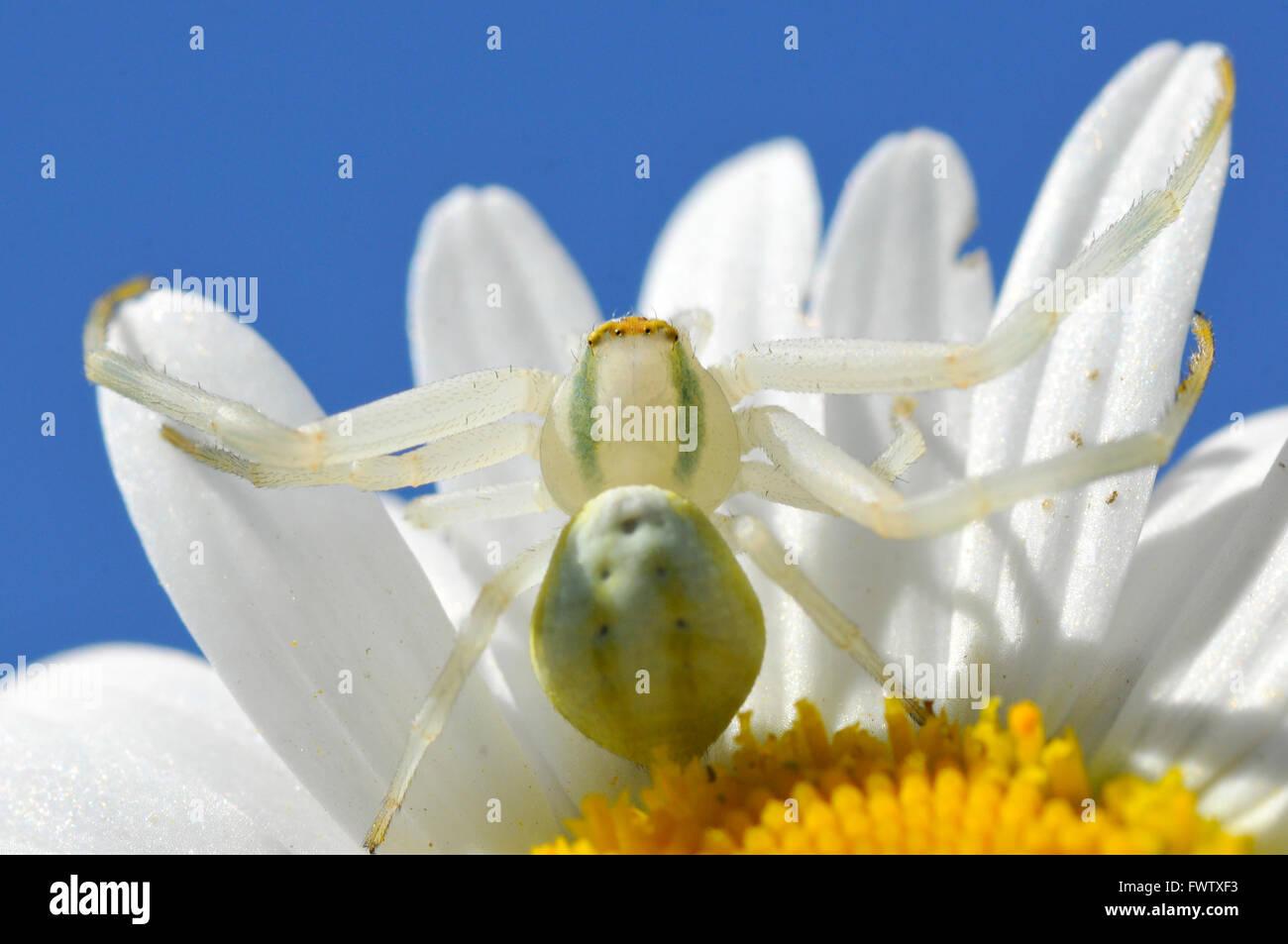 Macro d'araignée crabe (Misumena vatia) sur daisy pétales fleur sur fond de ciel bleu Banque D'Images