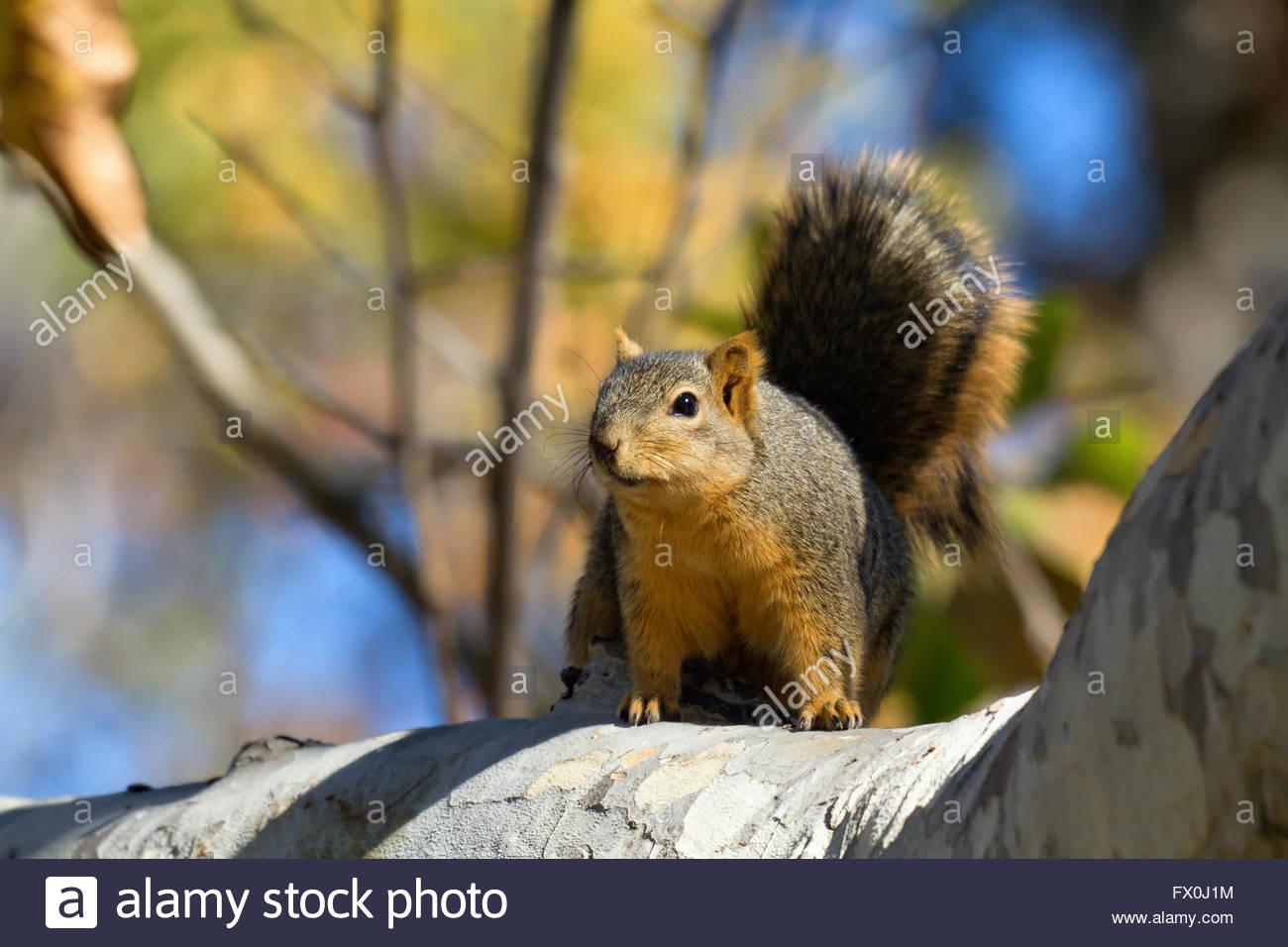Fox squirrel sur Branch dans le feuillage d'automne Photo Stock