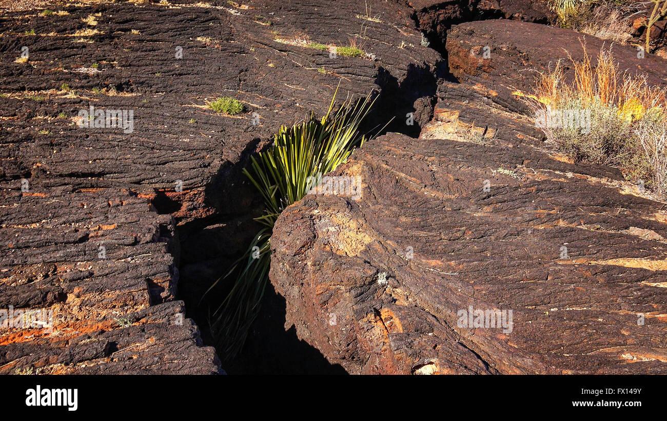 Plante pousse dans une démarche de fissure dans le champ de lave à la vallée d'Incendies Recreation Photo Stock