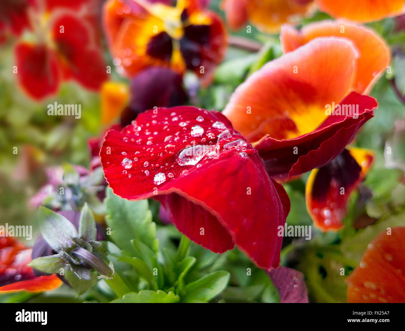 Gouttes De Rosee Du Matin Sur Le Rouge Jaune Orange Pensees Fleurs