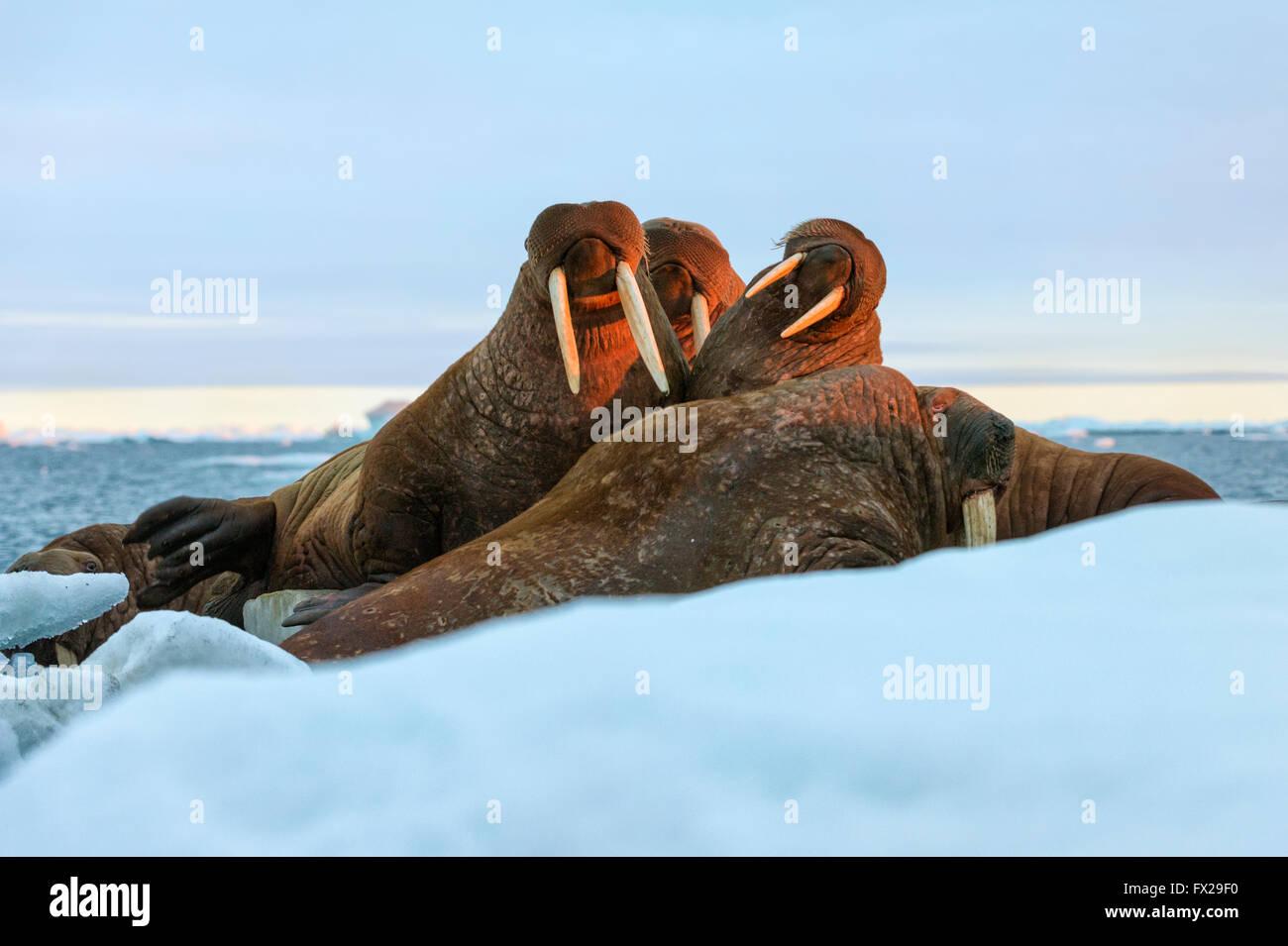 Derniers rayons de soleil du soir frappant un groupe de morse (Odobenus rosmarus), l'île Wrangel, mer de Photo Stock