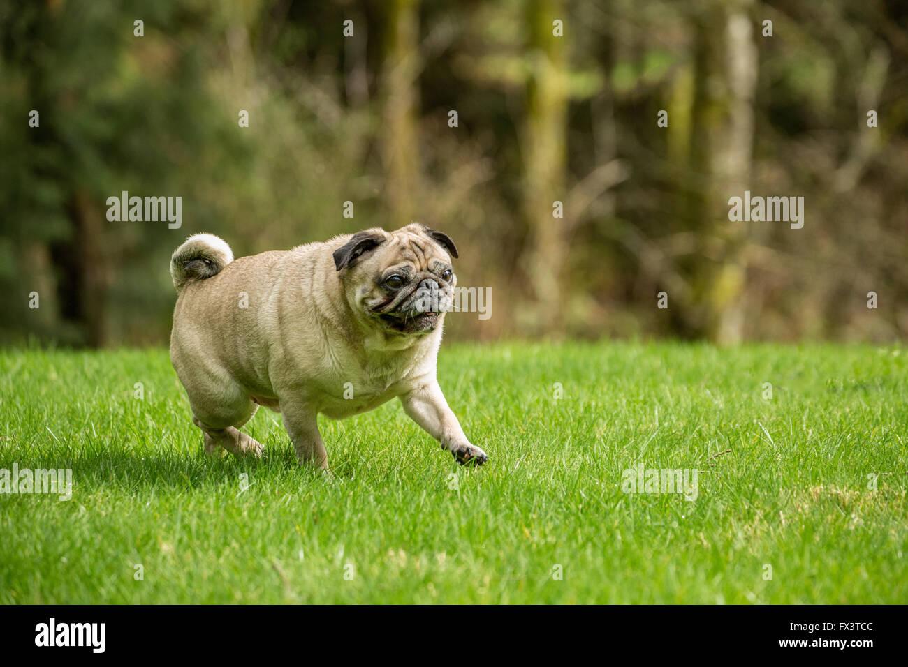 Cabo, un Pug fauve, marchant dans sa cour à Redmond, Washington, États-Unis Photo Stock