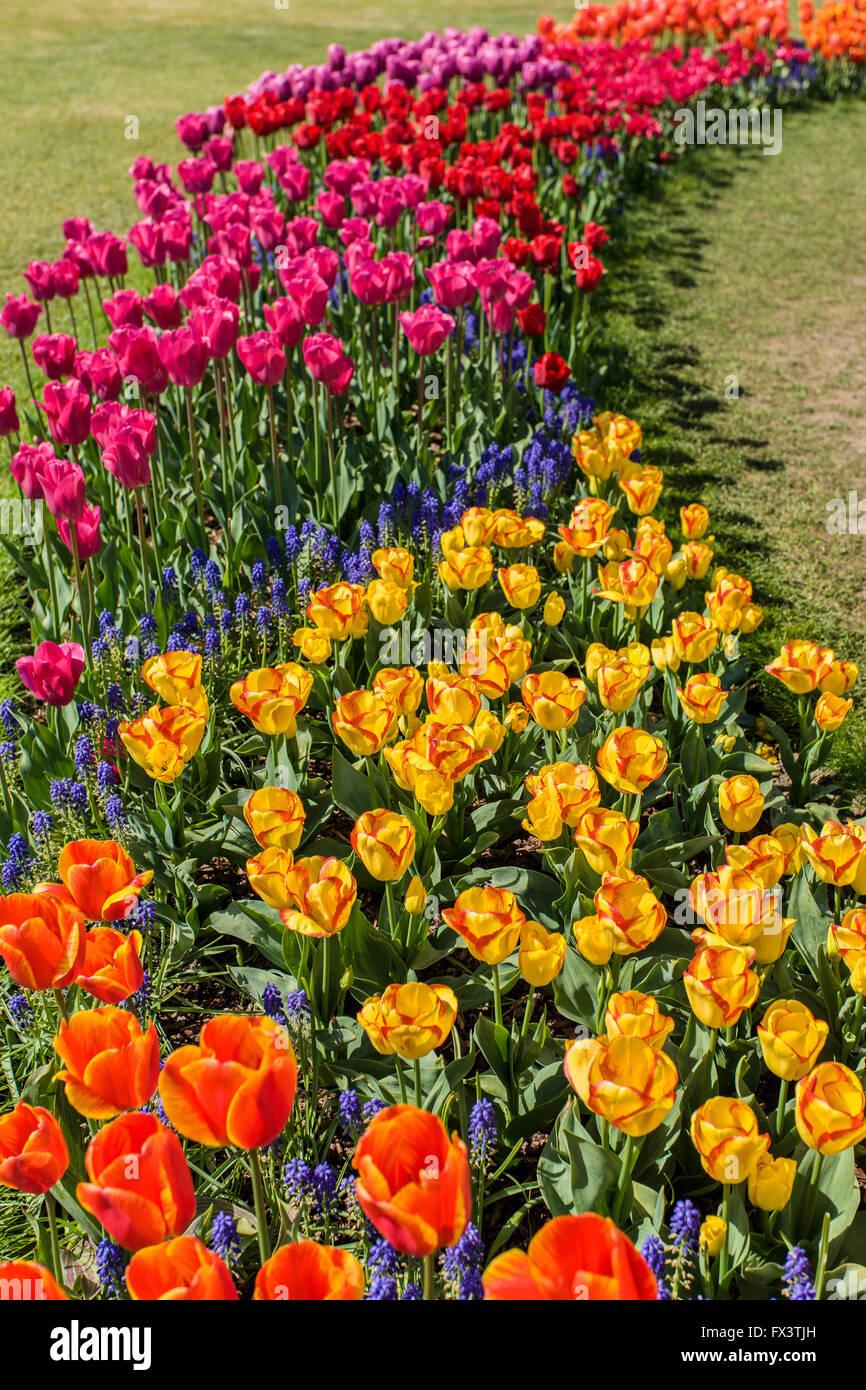 Tulip garden à Roozengaarde à Mount Vernon, Washington, USA Banque D'Images