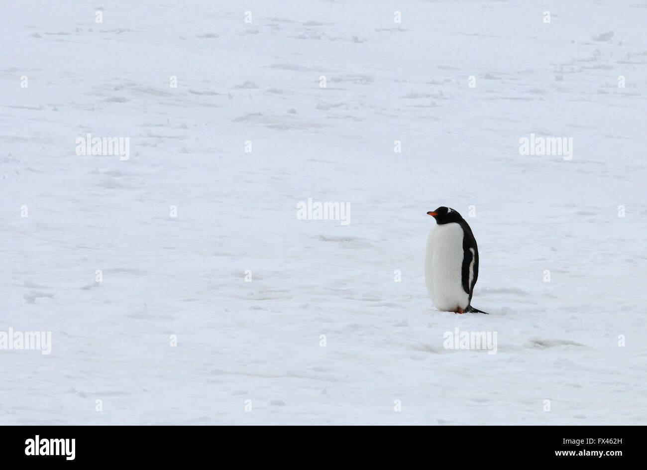 Le dirigeant d'une Gentoo pingouin (Pygoscelis papua) se dresse sur la neige au-dessus de l'anse de galets. Photo Stock