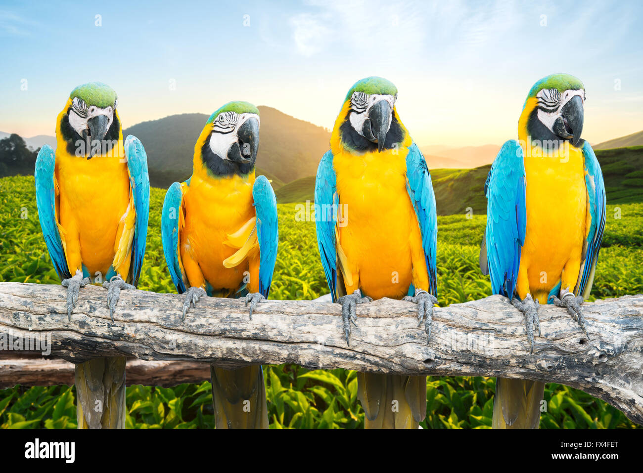 Blue and Gold Macaw sur branch dans les forêts tropicales Photo Stock