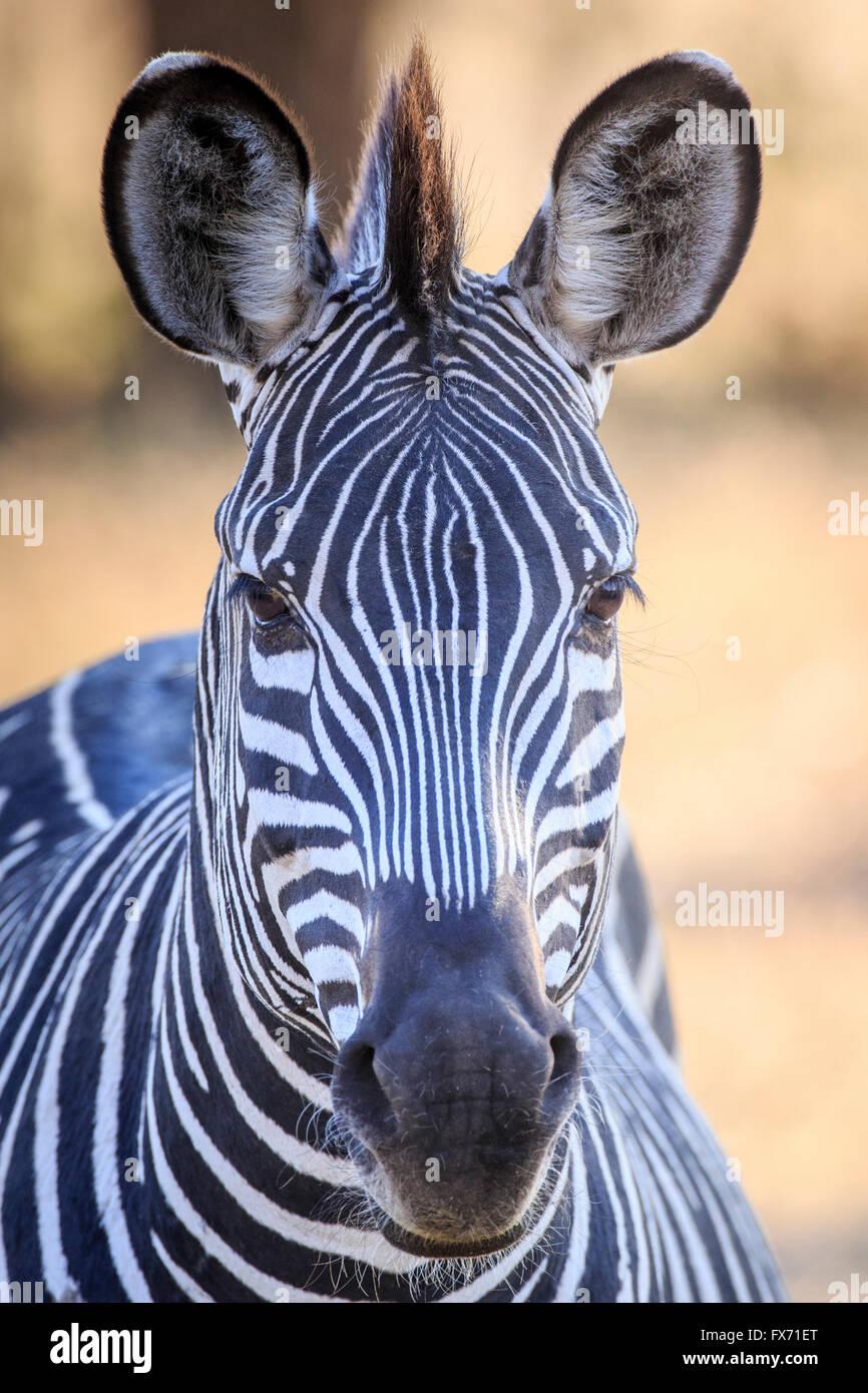 Le zèbre de Crawshay (Equus quagga) crawshaii, portrait, South Luangwa National Park, Zambie Photo Stock