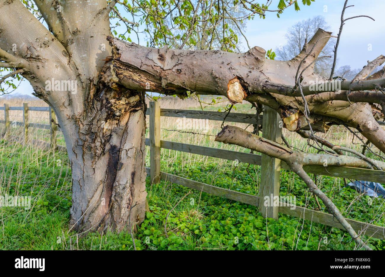 Arbre endommagé avec la branche cassée et briser une clôture en bois. Photo Stock