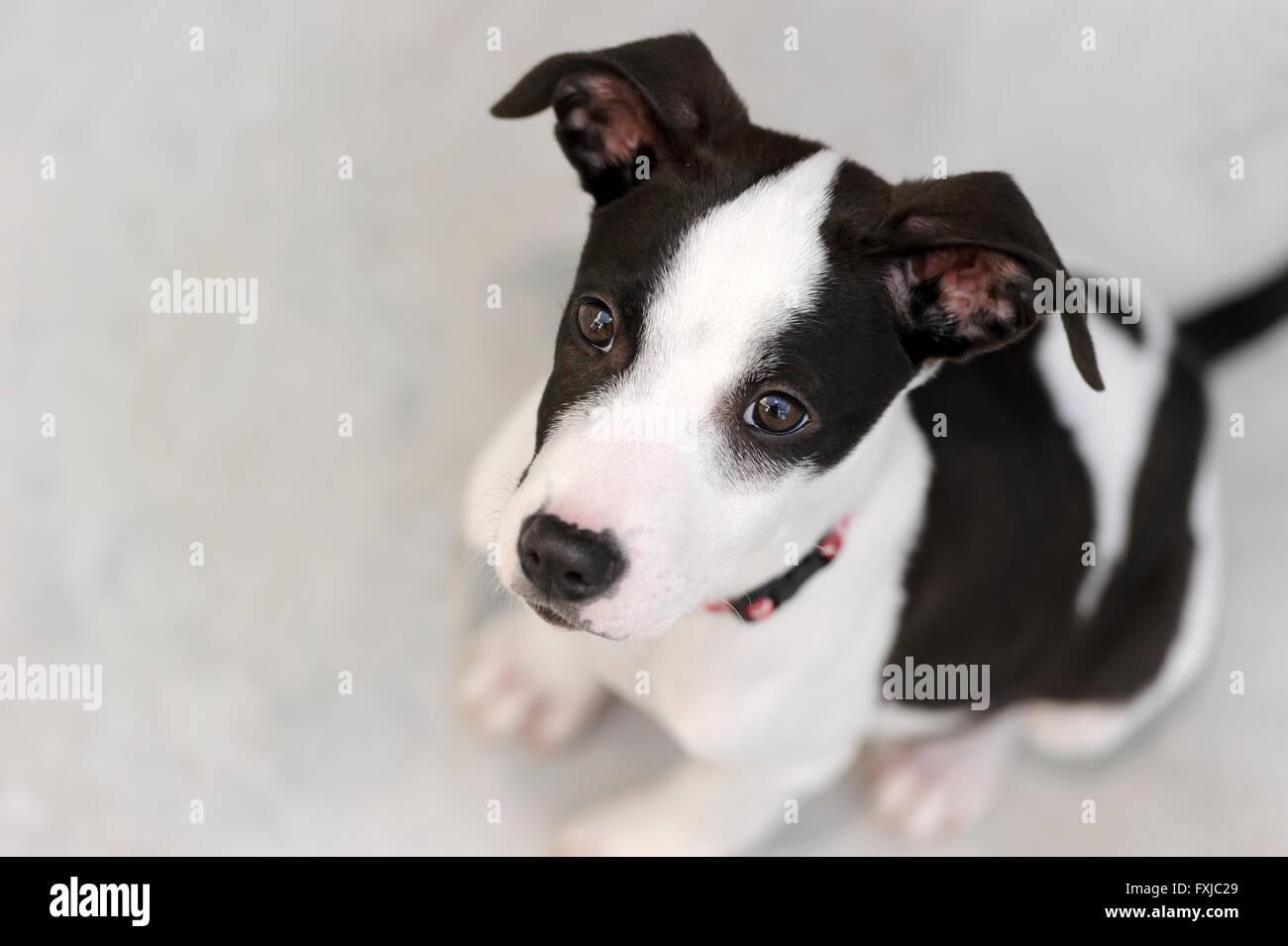 Curieux chien est à la recherche jusqu'à l'émerveillement dans ses beaux yeux magnétiques. Photo Stock