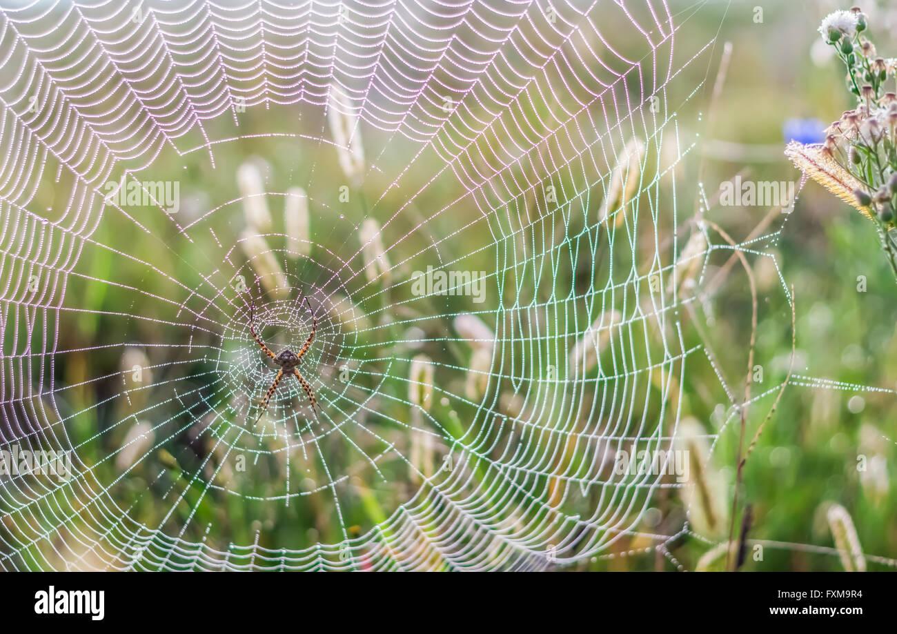 La lumière du matin Photo de couleur arc-en-ciel sur la réfraction de web spider Globe Doré Photo Stock