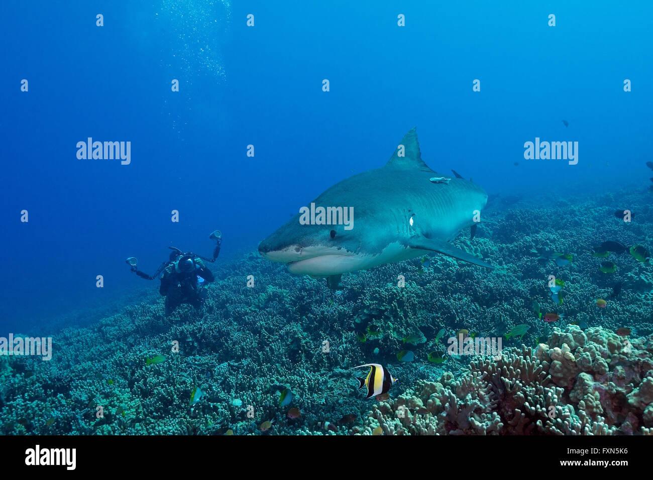 Photographie de plongeur, requin tigre Galeocerdo cuvier, sur les récifs coralliens, avec l'idole maure, Photo Stock
