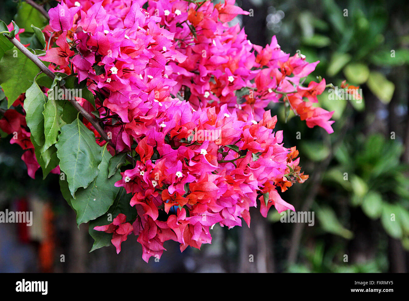 bouquet de rose rouge et de fleurs de bougainvilliers avec feuillage