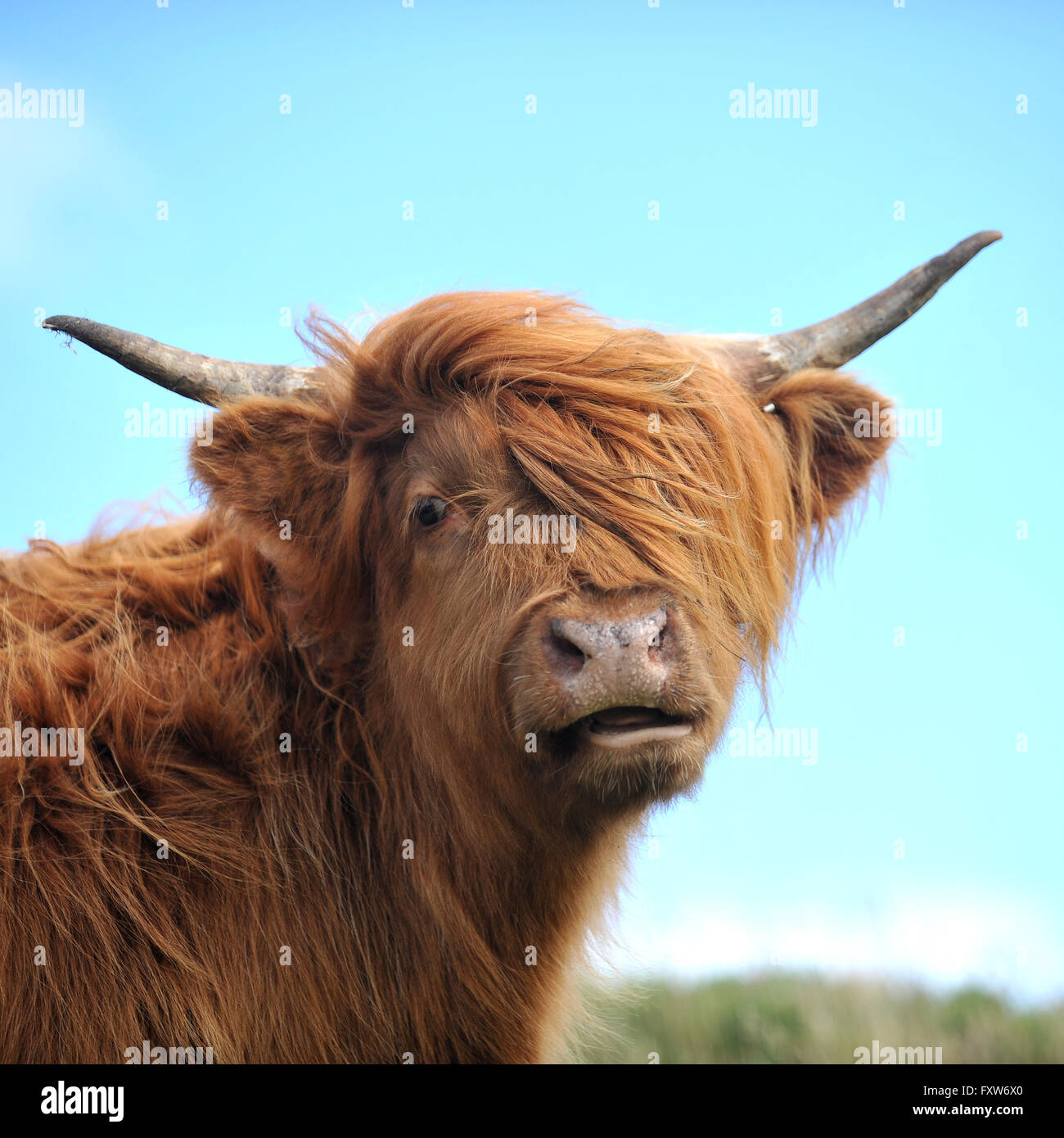 vache Highland Photo Stock