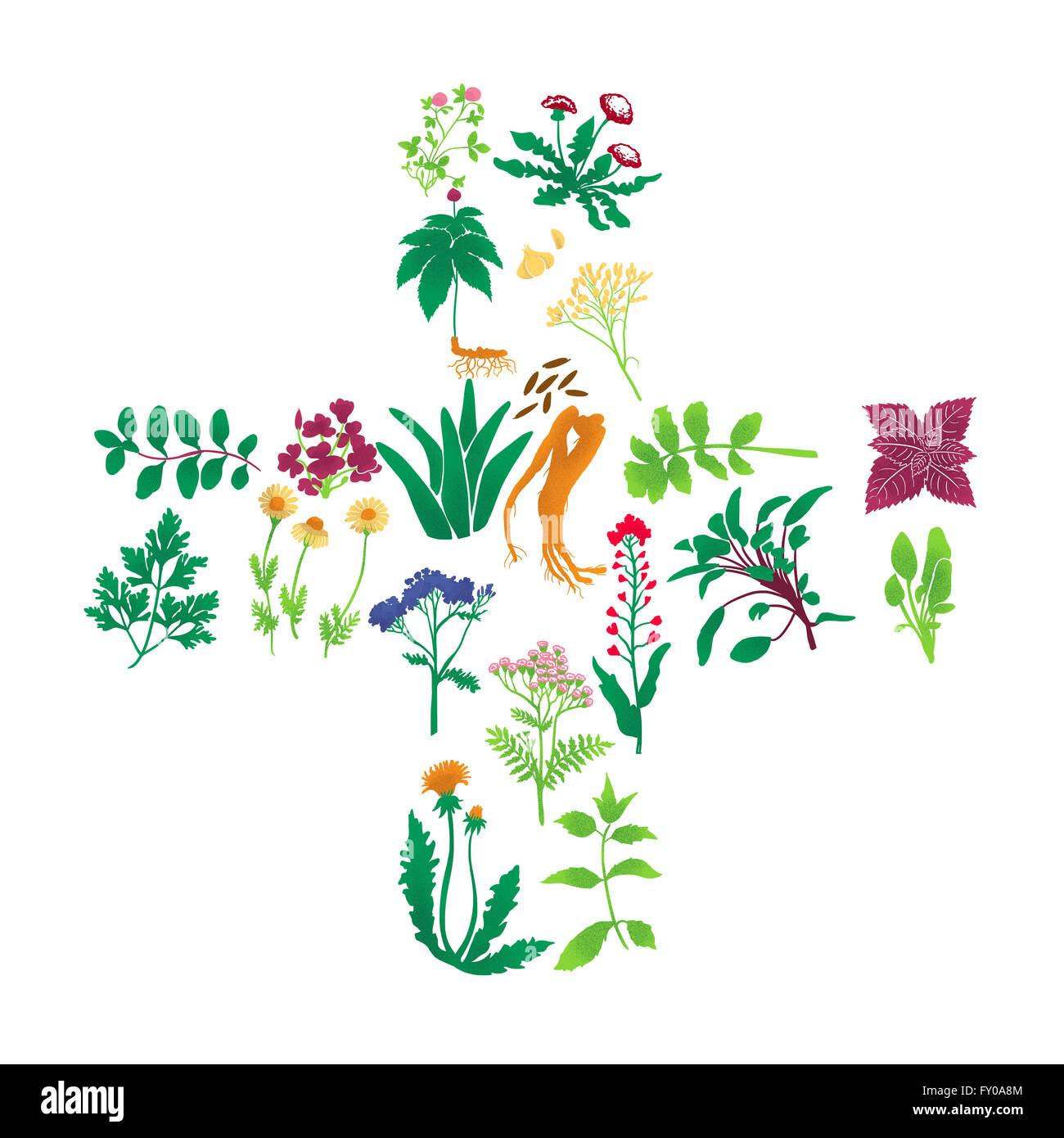 Illustrations de plantes médicinales sur fond blanc Banque D'Images