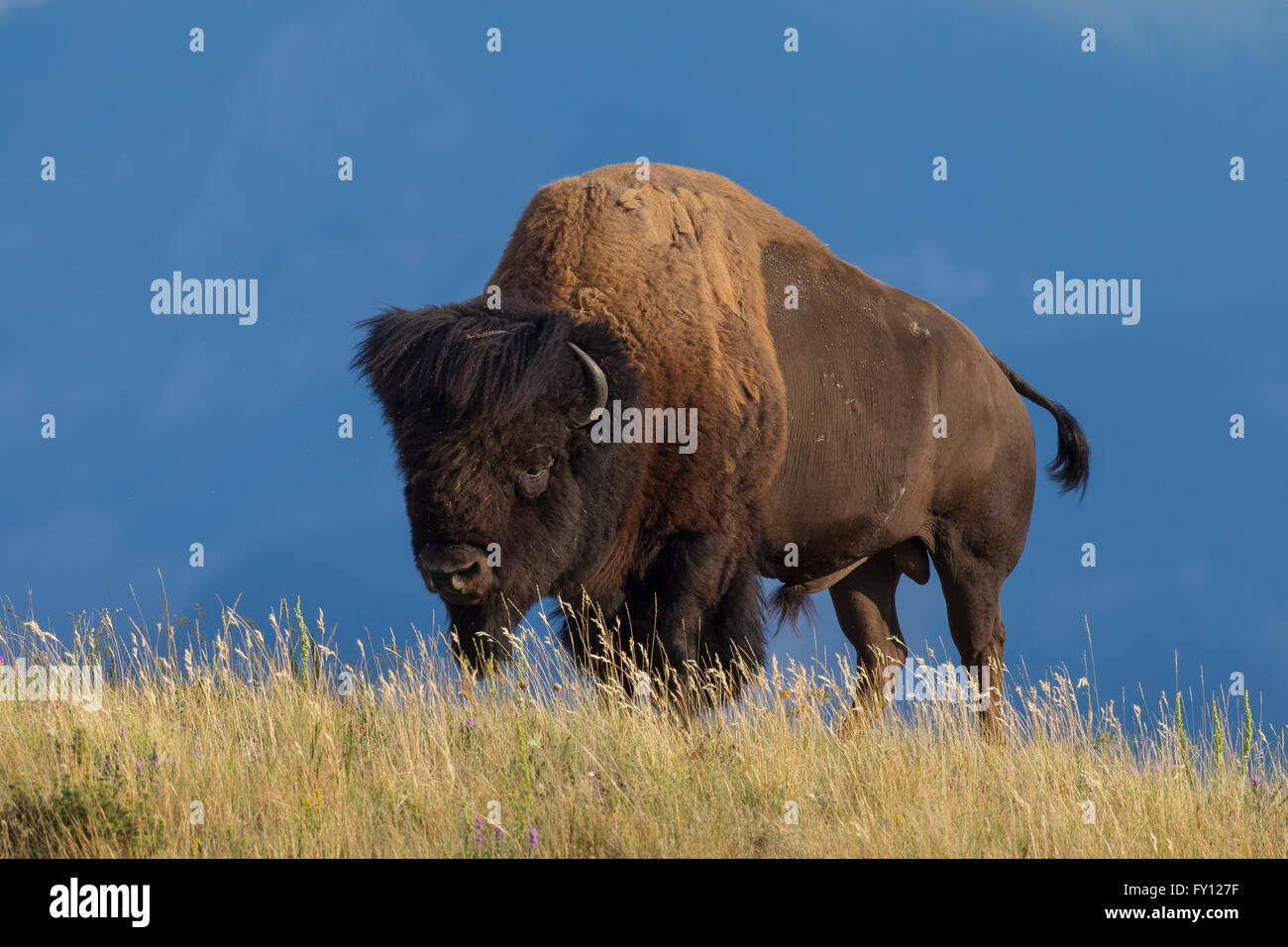 Bison d'Amérique / American bison (Bison bison) bull en été, Waterton Lakes National Park, Alberta, Photo Stock