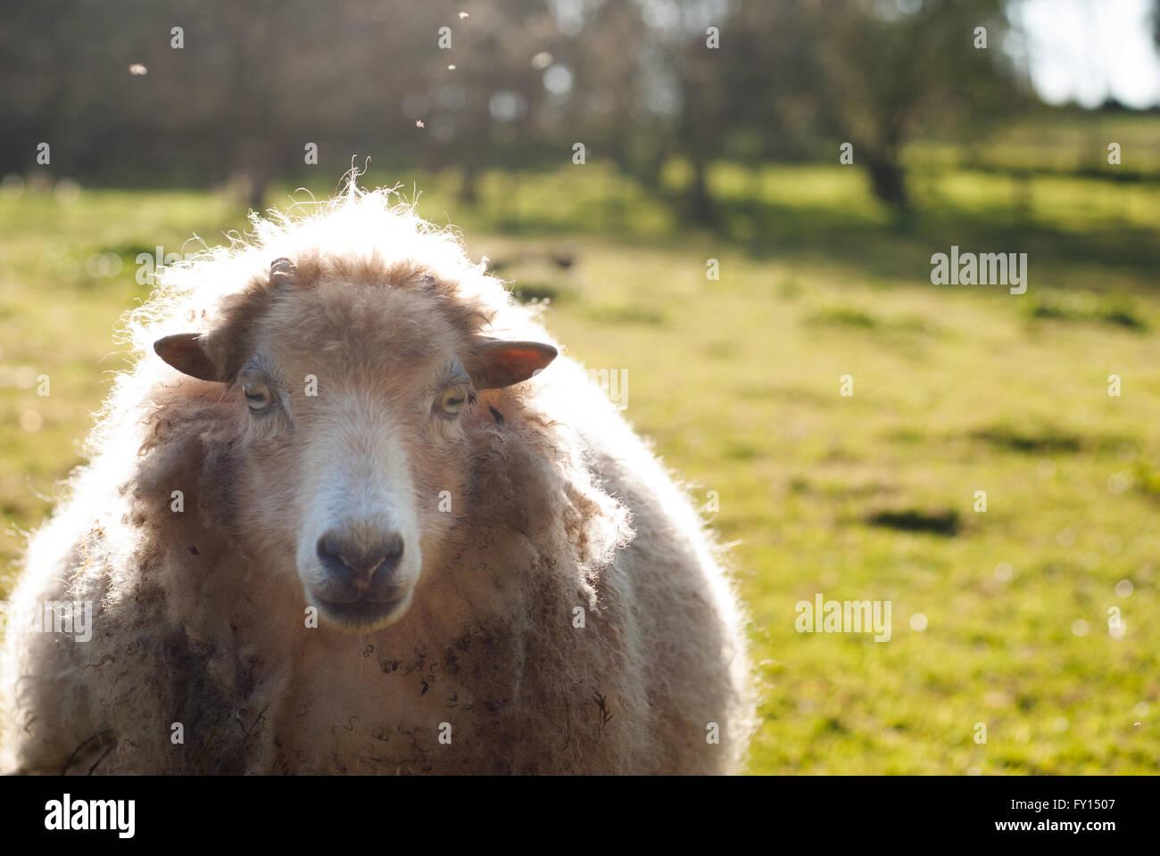 Les moutons d'ouessant prises par rétroéclairage face Photo Stock