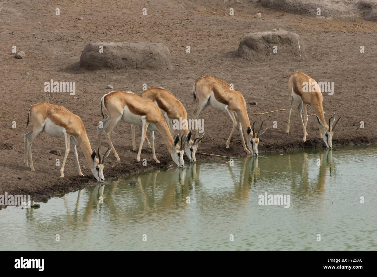 Le springbok est une antilope brun et blanc gazelle-du sud-ouest de l'Afrique. Il est extrêmement rapide Photo Stock