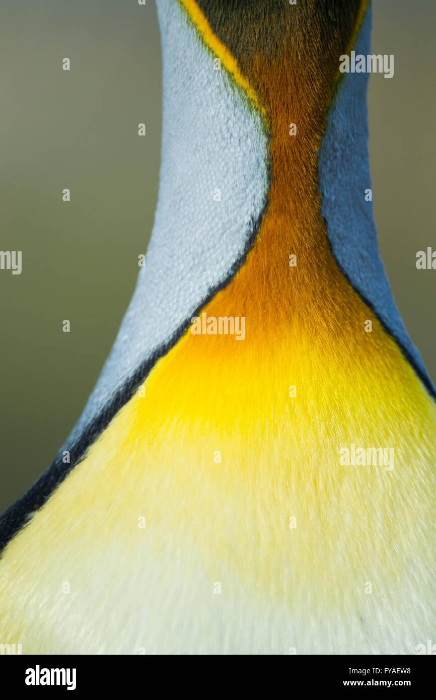 Manchot royal Aptenodytes patagonicus, vue rapprochée de plumes du cou et de marquages, Saint Andrew's Bay, la Géorgie du Sud en décembre. Banque D'Images