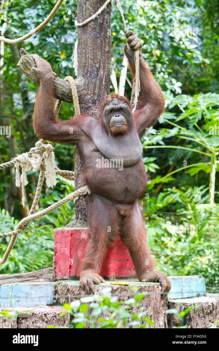 Image drôle de singe ou de l'orang-outan au Vietnam Banque D'Images, Photo Stock: 102879772 - Alamy