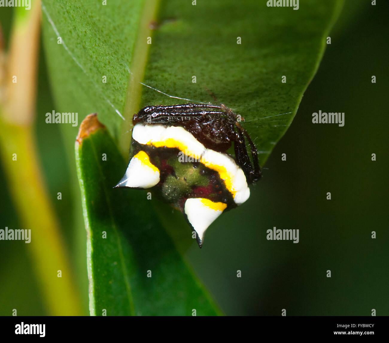 Deux épines Poecilopachys Spider (Australasie), New South Wales, Australie Photo Stock