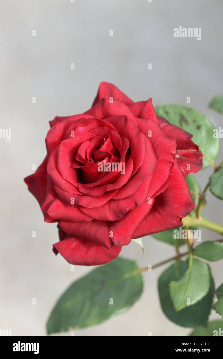 Close up of Rose rouge en pleine floraison Banque D'Images