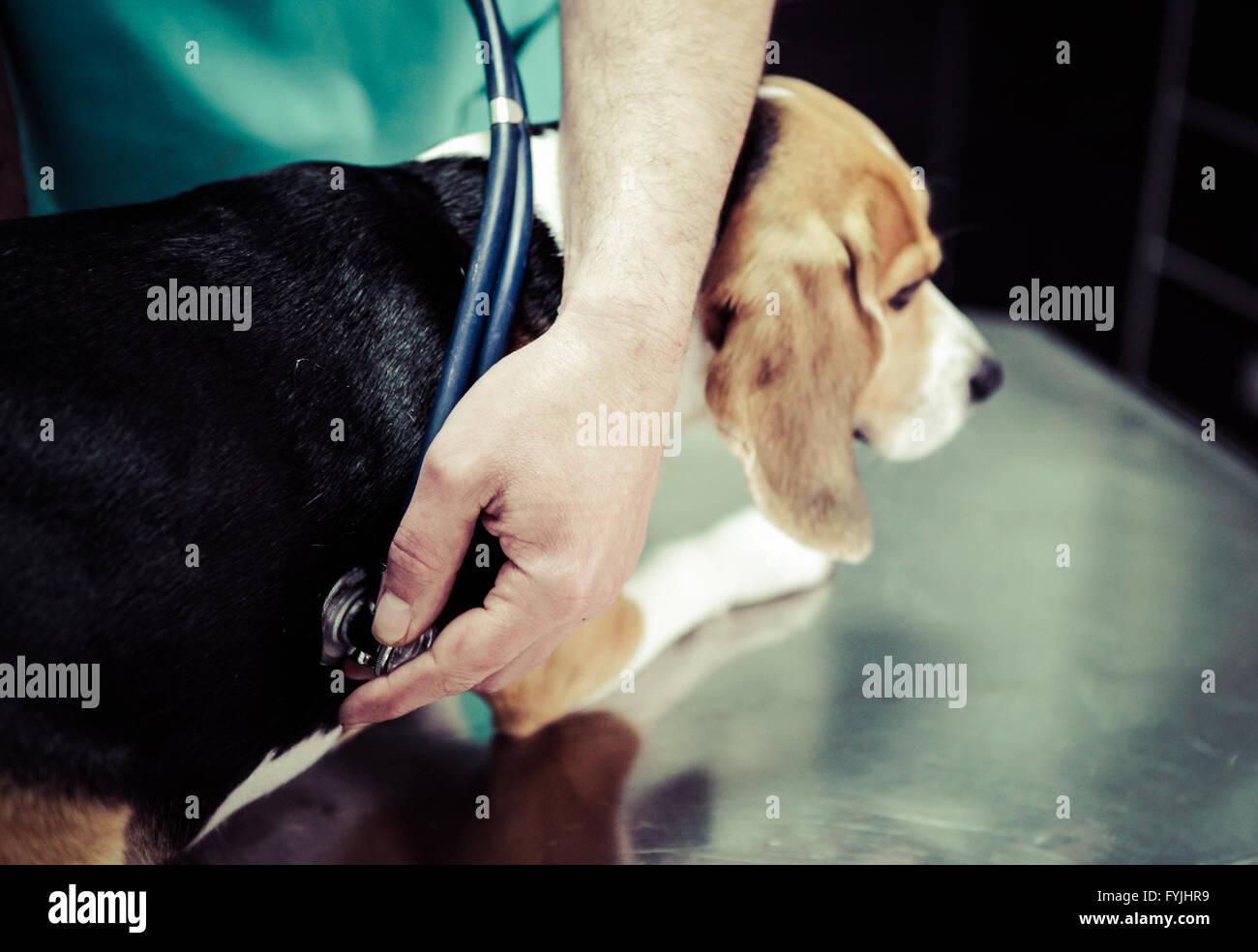 Chien chez le vétérinaire dans la chirurgie salle de préparation. Photo Stock