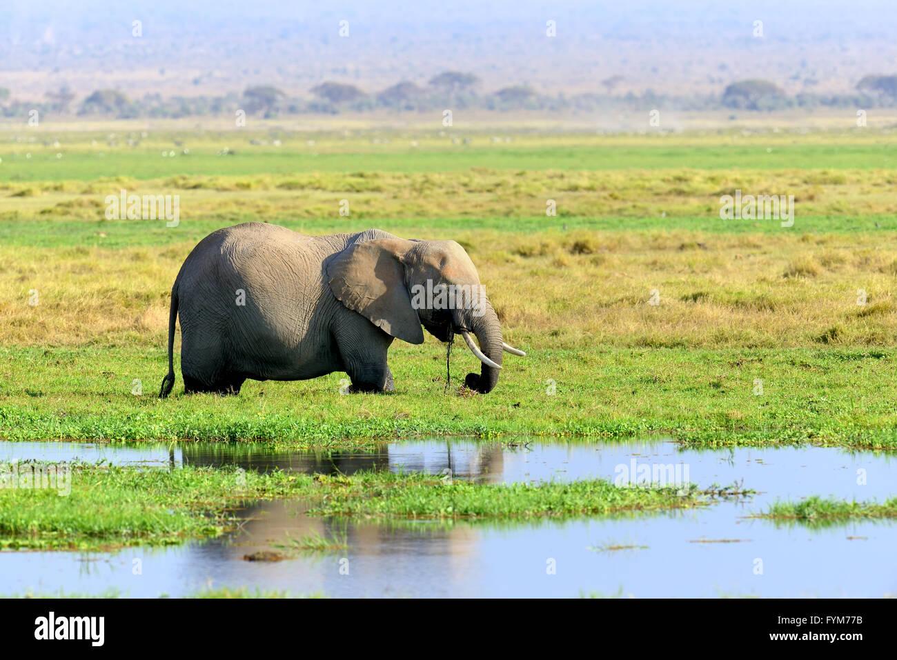Dans l'éléphant, parc national du Kenya, Afrique Photo Stock