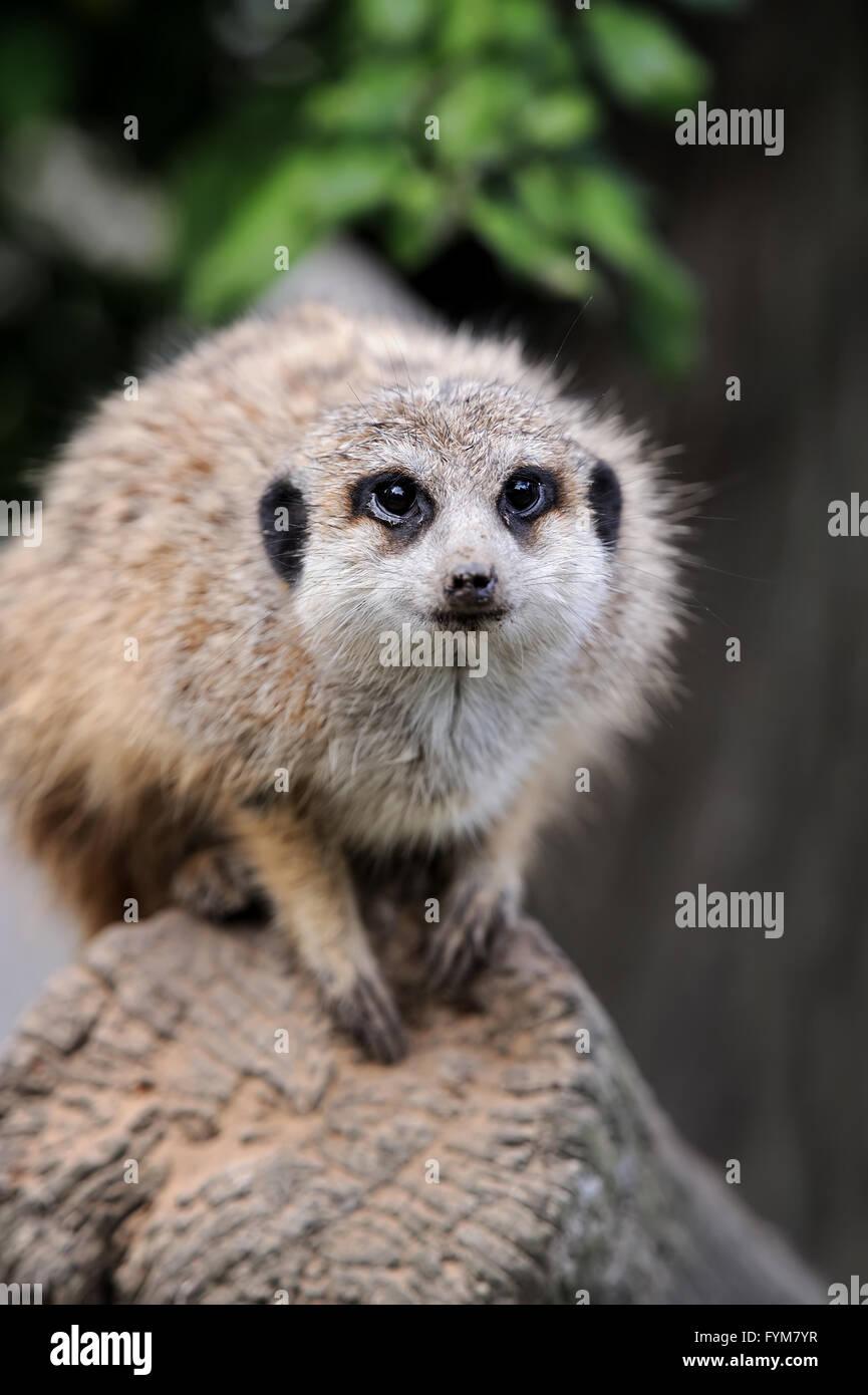 Fermer meerkat sur branch dans la nature Photo Stock