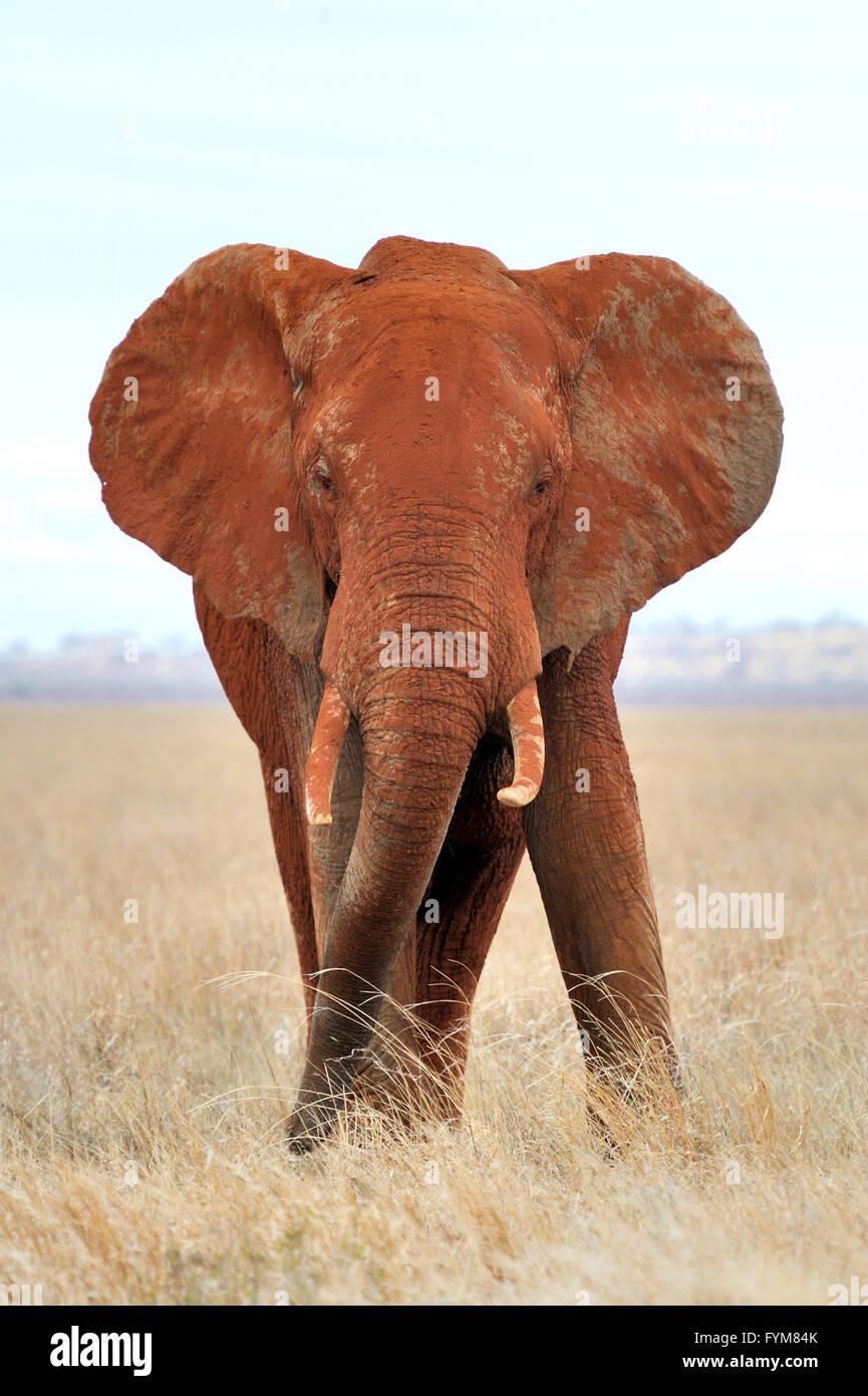Dans l'éléphant, parc national du Kenya, Afrique Banque D'Images