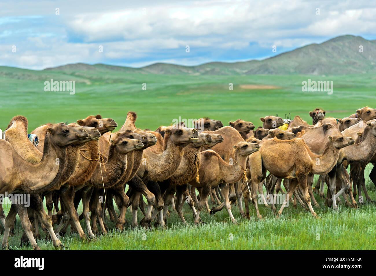 Troupeau de chameaux de Bactriane (Camelus bactrianus) l'itinérance dans la steppe mongole, Mongolie Banque D'Images