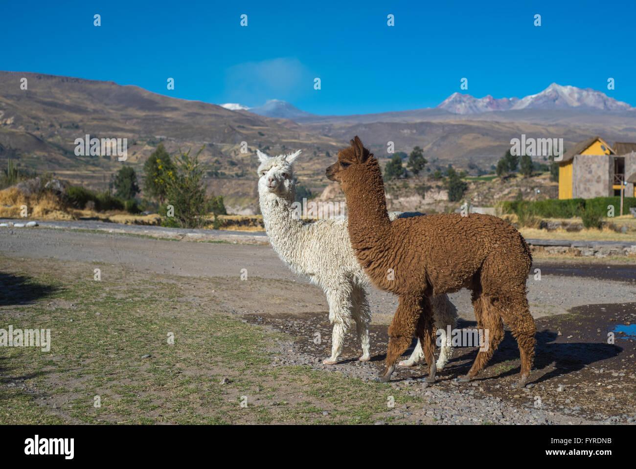 Les alpagas péruviens Photo Stock