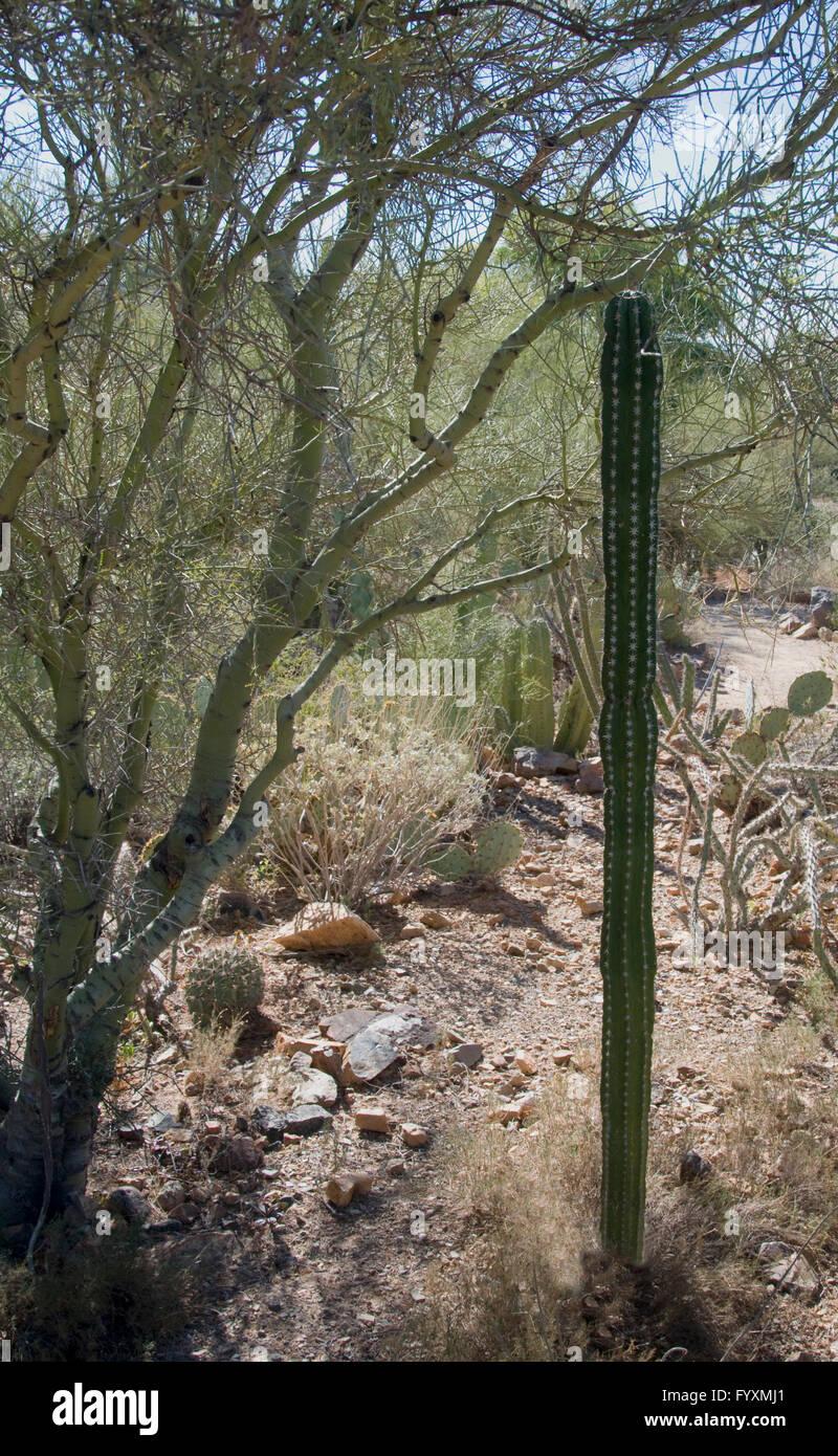 Pachycereus pecten, abroiginum Mesquite tree Banque D'Images