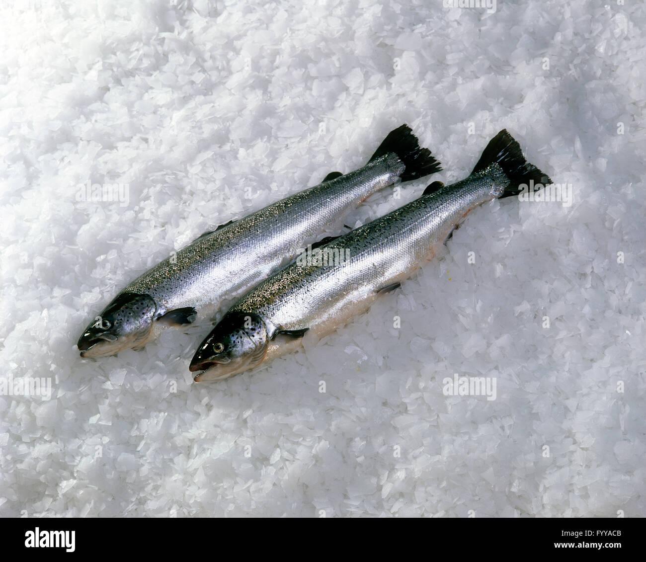 Deux poissons sur la glace, à l'intérieur. Photo Stock