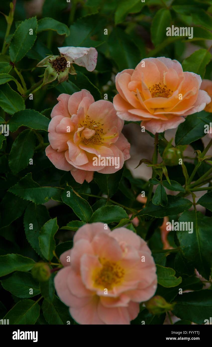 Rosa Flower Carpet White Photos Rosa Flower Carpet White Images