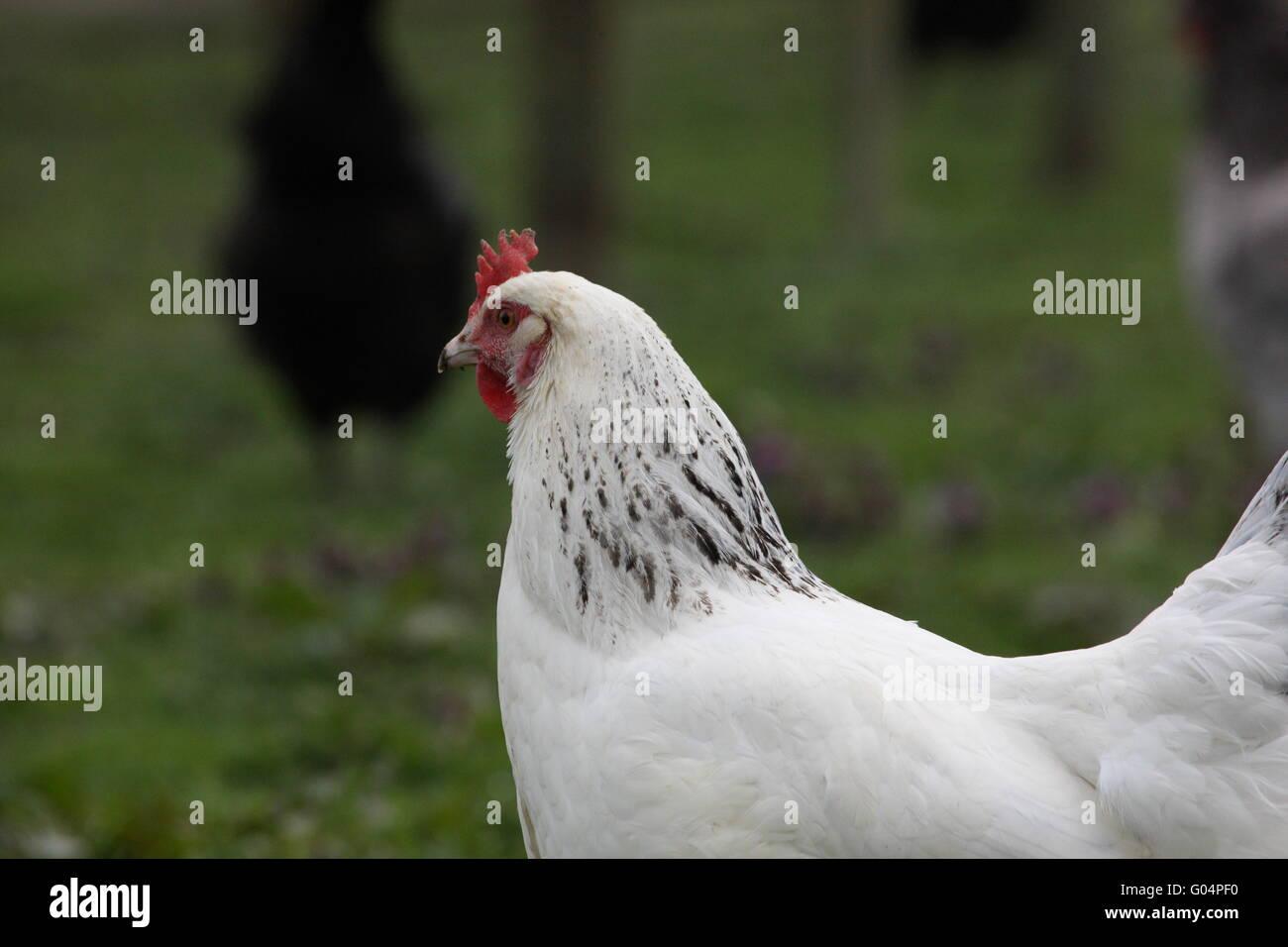 Tout le corps ,l'herbe derrière.free range,oiseaux,BIRD , LUMIÈRE SUFFOLK' Photo Stock