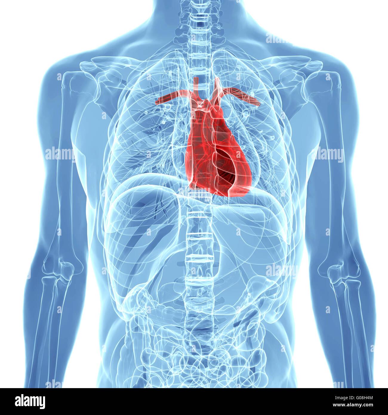 Les droits de l'anatomie cardiaque Photo Stock
