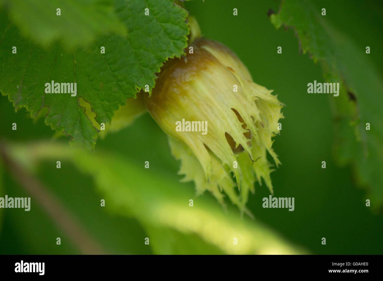 Noisette biologique Photo Stock