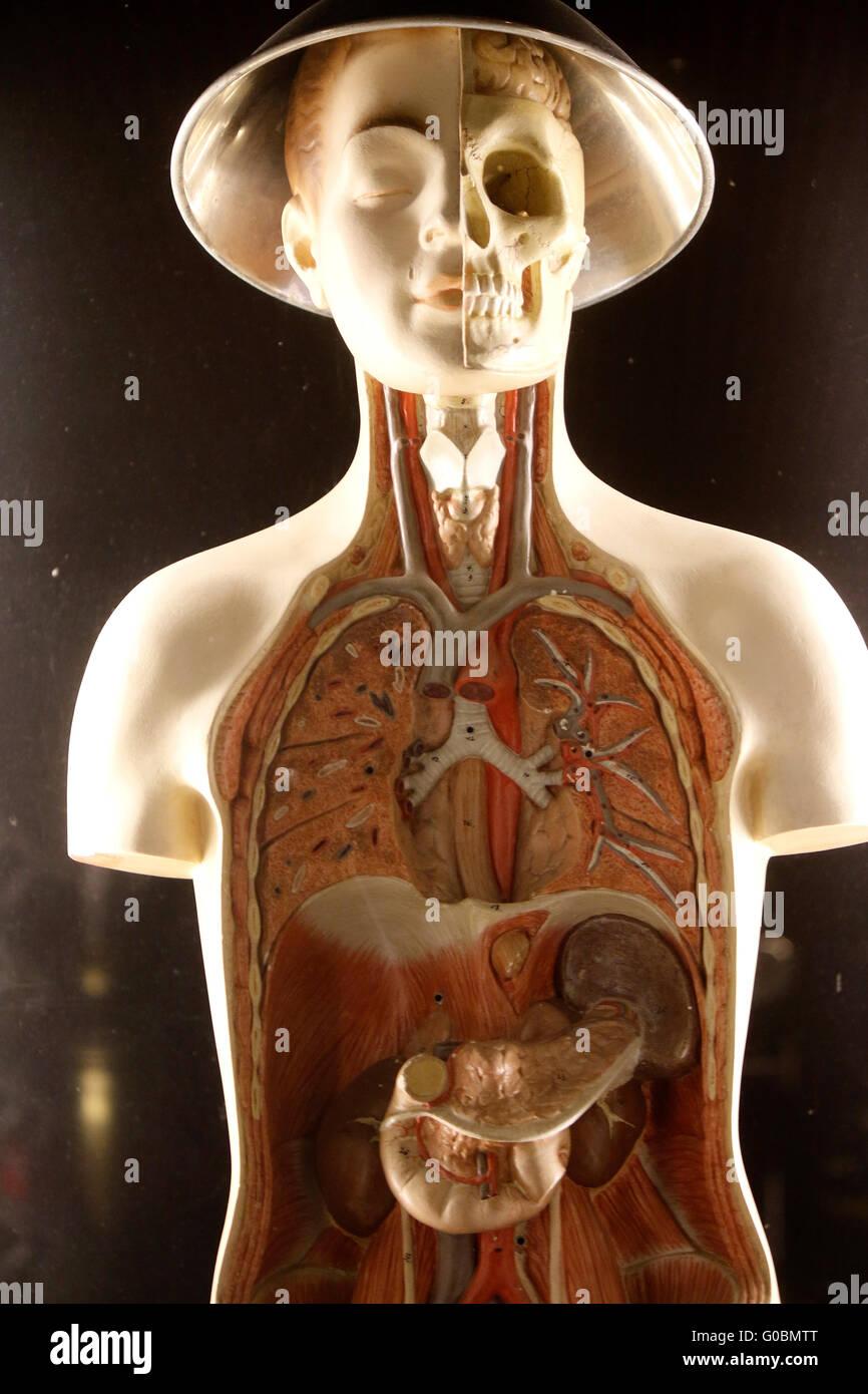 Anatomisches Modell eines Menschen, Berlin. Banque D'Images