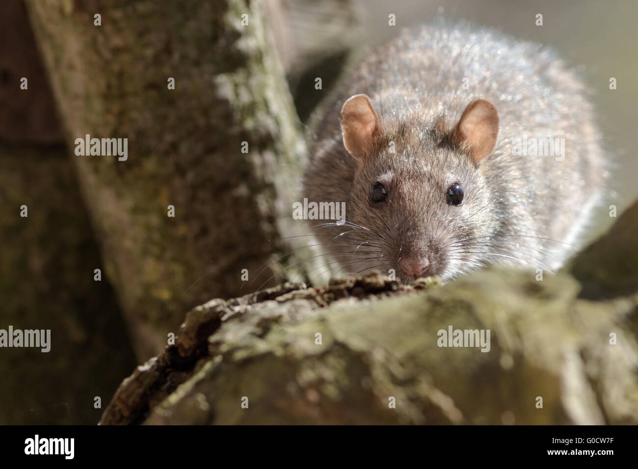 Rat en quête de nourriture Photo Stock