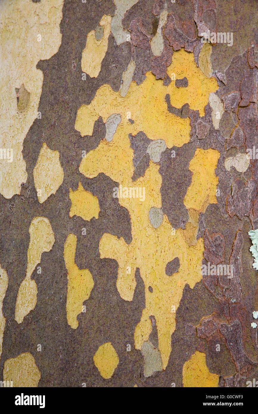 Londres; Platane Platanus x acerifolia; écorce détail; UK Photo Stock
