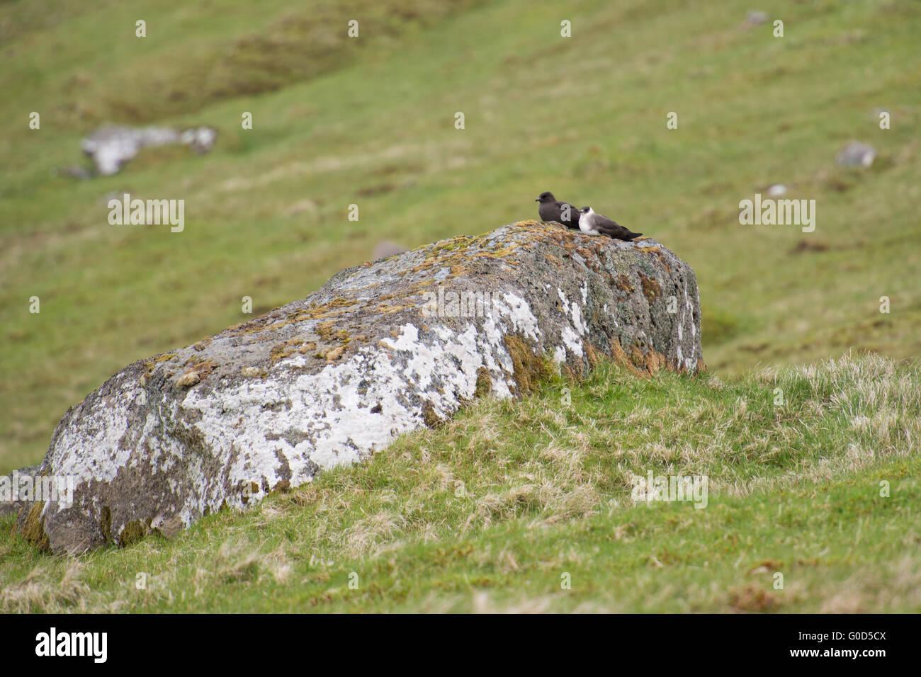 Labbe parasite Stercorarius parasiticus, dans une sombre et une forme blanche assis sur une pierre Banque D'Images