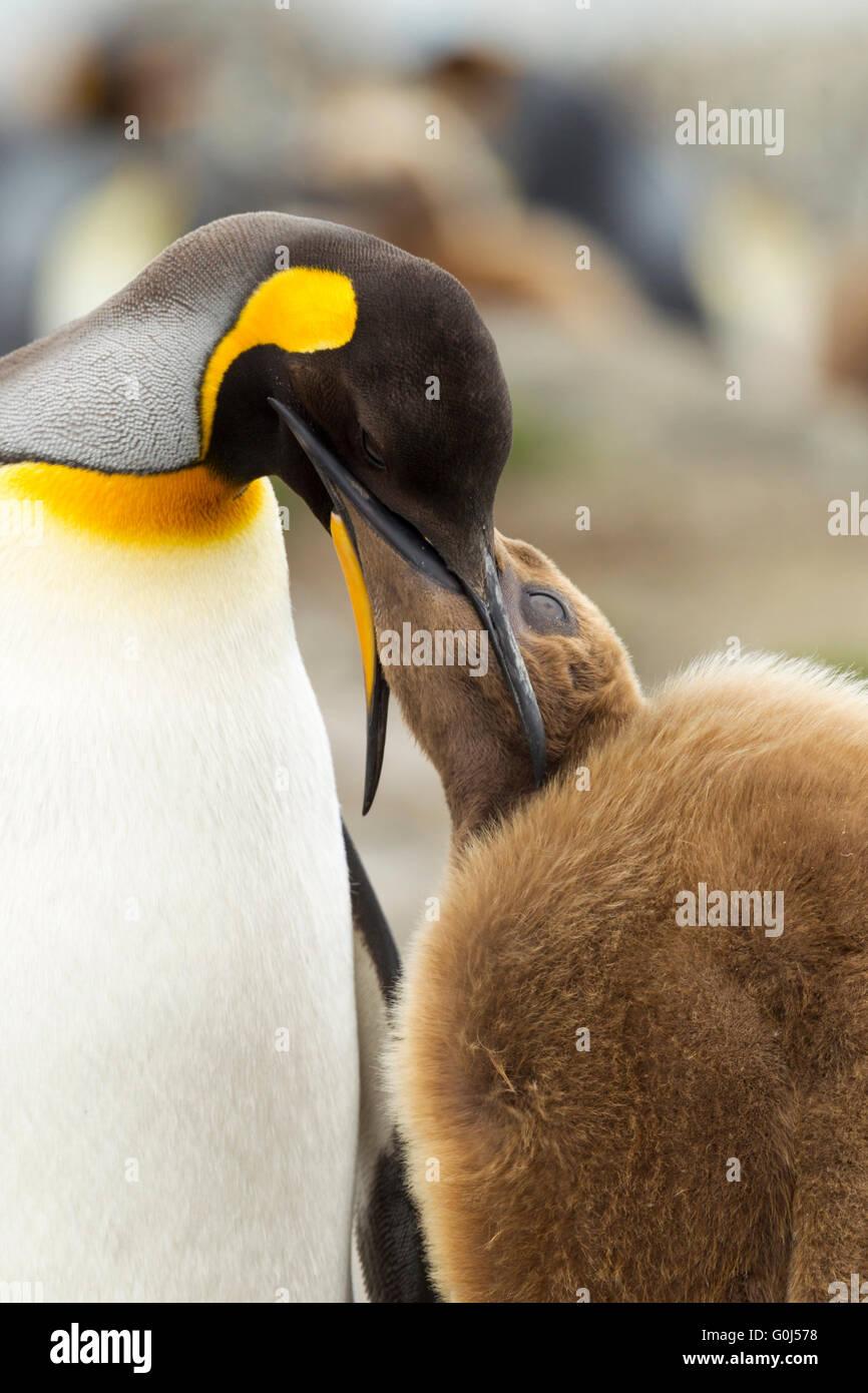 Manchot royal Aptenodytes patagonicus, alimentation adultes chick, Saint Andrew's Bay, la Géorgie du Sud en janvier. Banque D'Images
