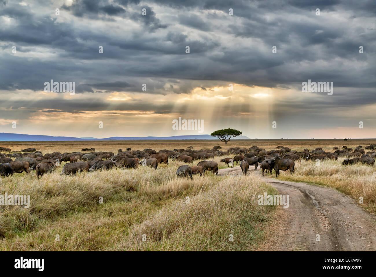 Troupeau de buffles d'Afrique (Syncerus caffer) au coucher du soleil dans le Parc National du Serengeti, UNESCO Photo Stock