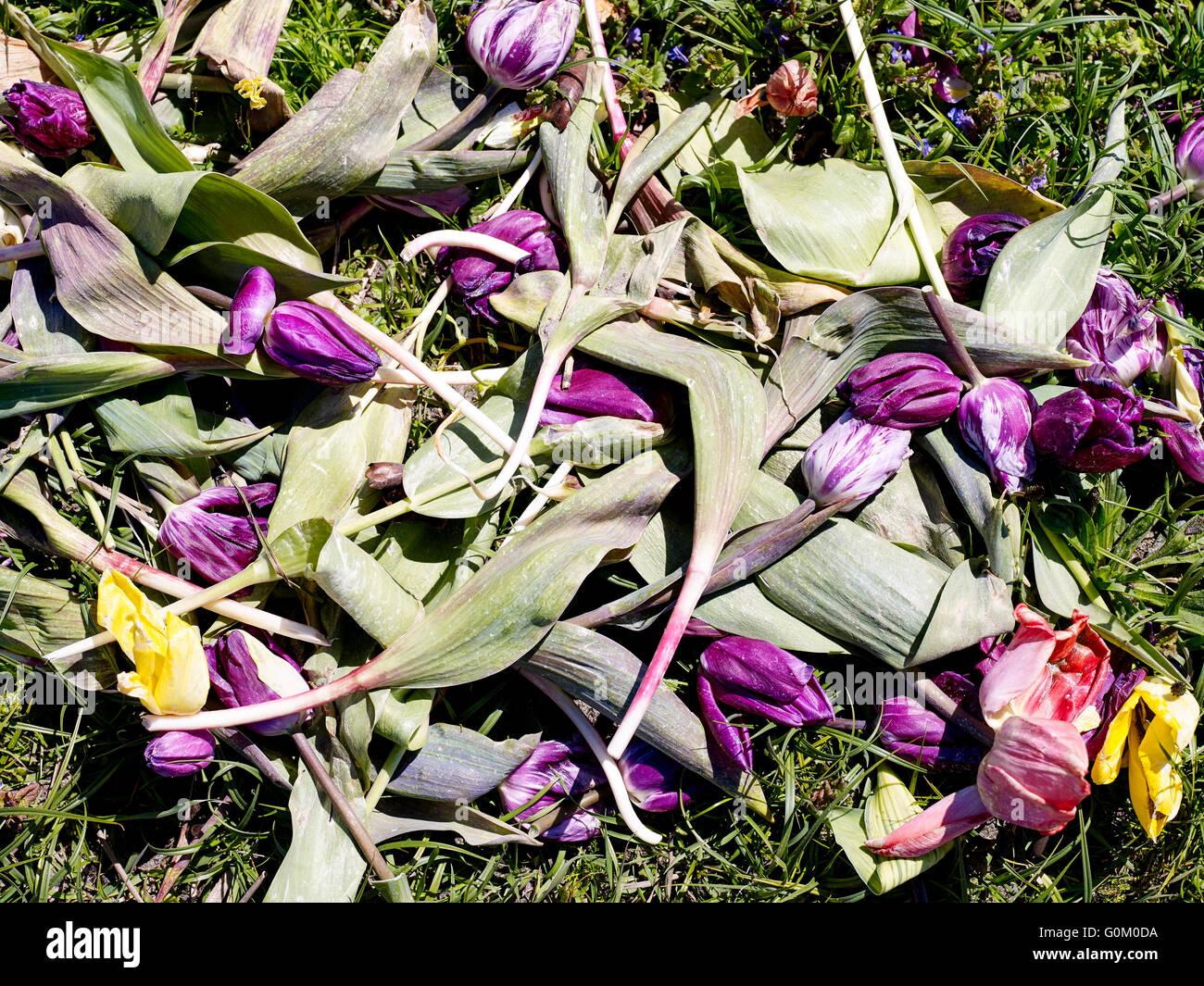 Tulipes aux Pays-Bas a rejeté près de Noordwijk Photo Stock
